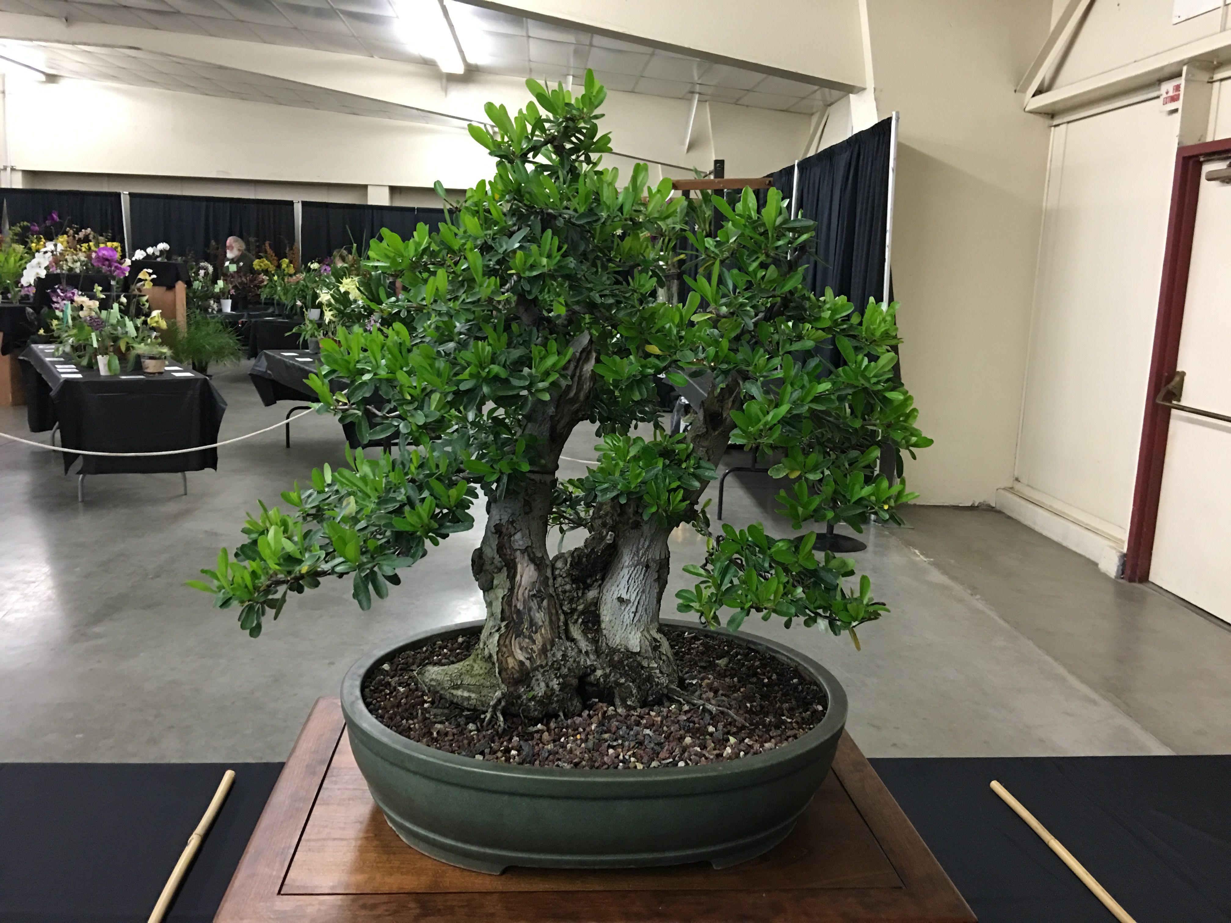 The Central Valley Bonsai Society Showcased Their Prized Plants At The  March 2016 Fresno Home U0026