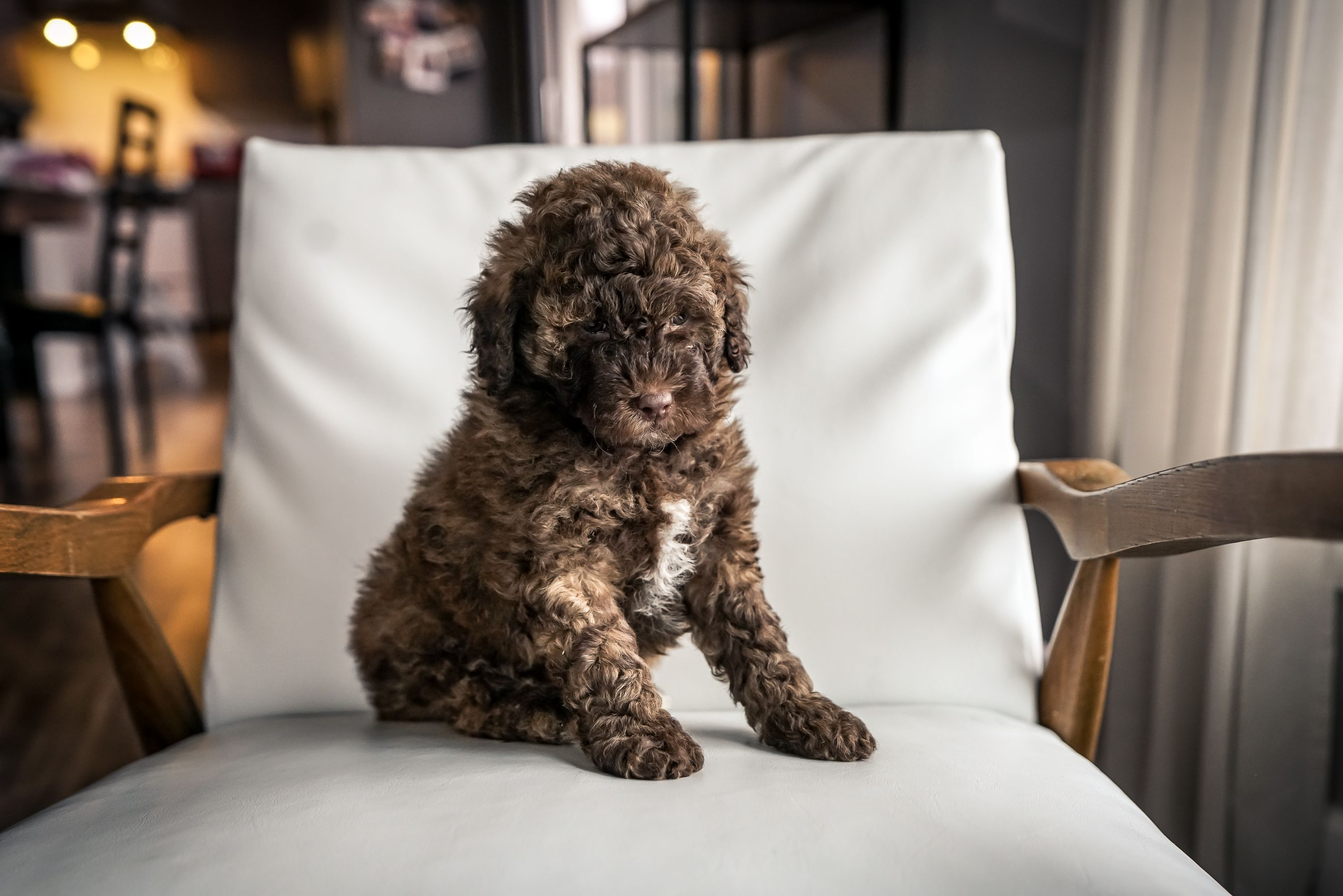 Hershey Male Mini Portidoodle Pup For Sale Near Sugarcreek Ohio In 2020 Puppies For Sale Mini Puppies Puppies
