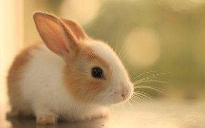 Cute Bunny Hd Wallpaper Cute Bunny Pictures Bunny Wallpaper Rabbit Wallpaper