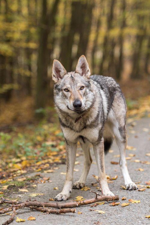 This is my stickby Martin Juřík// Czechoslovakian Wolfdog