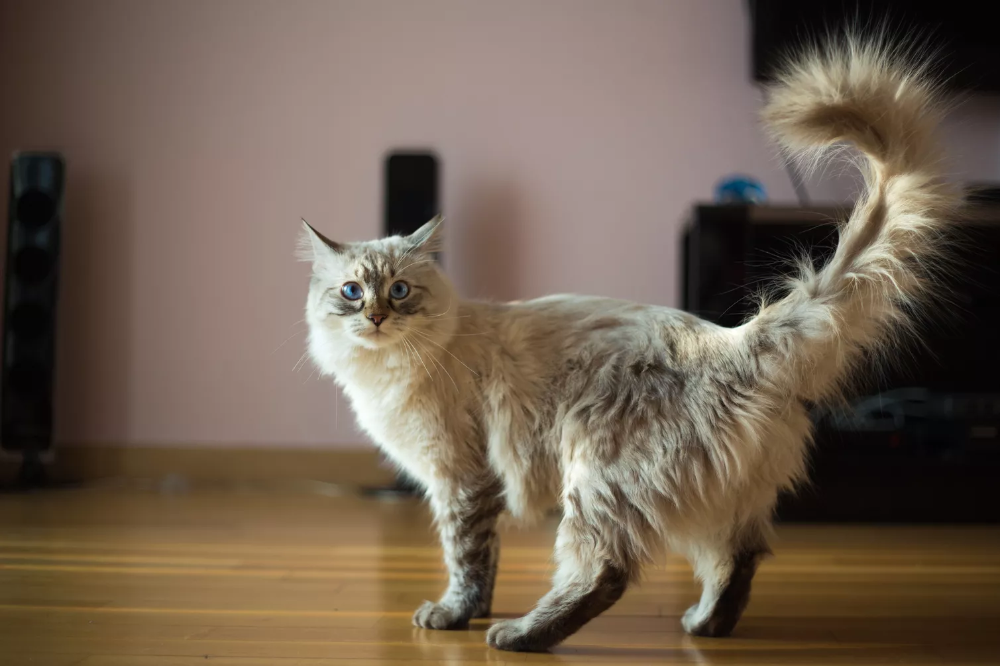 Popular Cats for Many Types of Households Cat tail