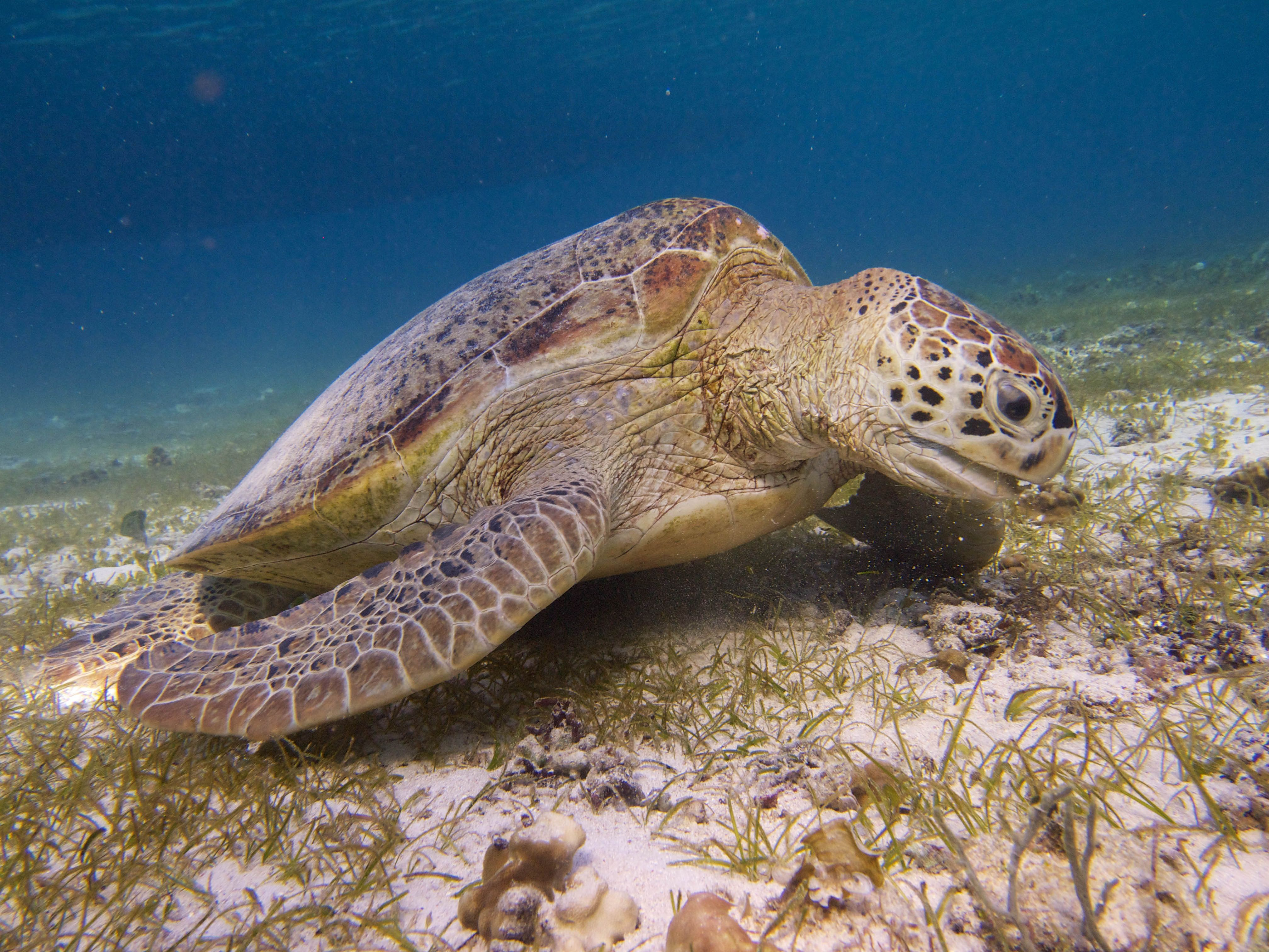 Endangered turtles face new threat in