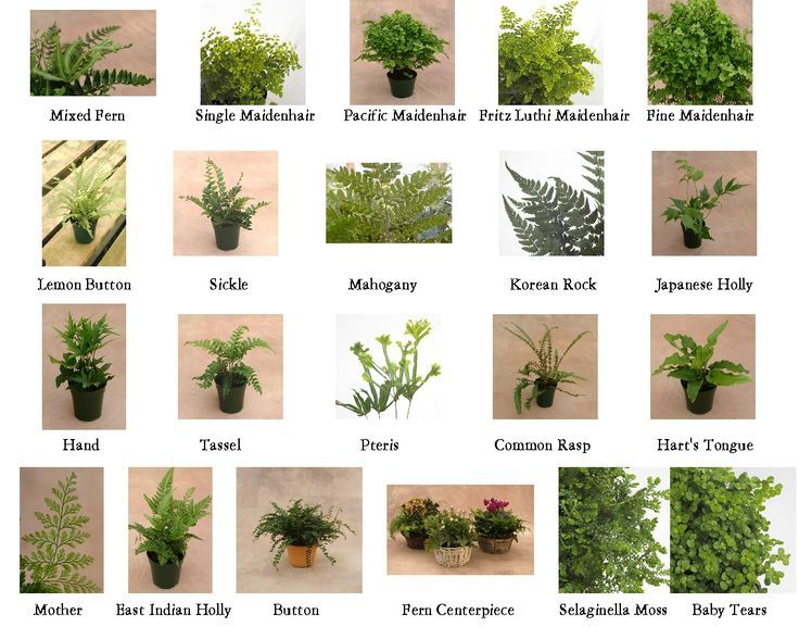 Types Of Ferns Google Search