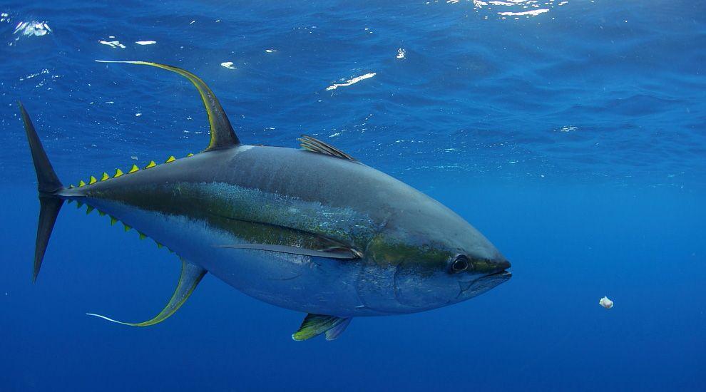 Yellow fin tuna   Tuna fishing, Albacore tuna, Bluefin tuna