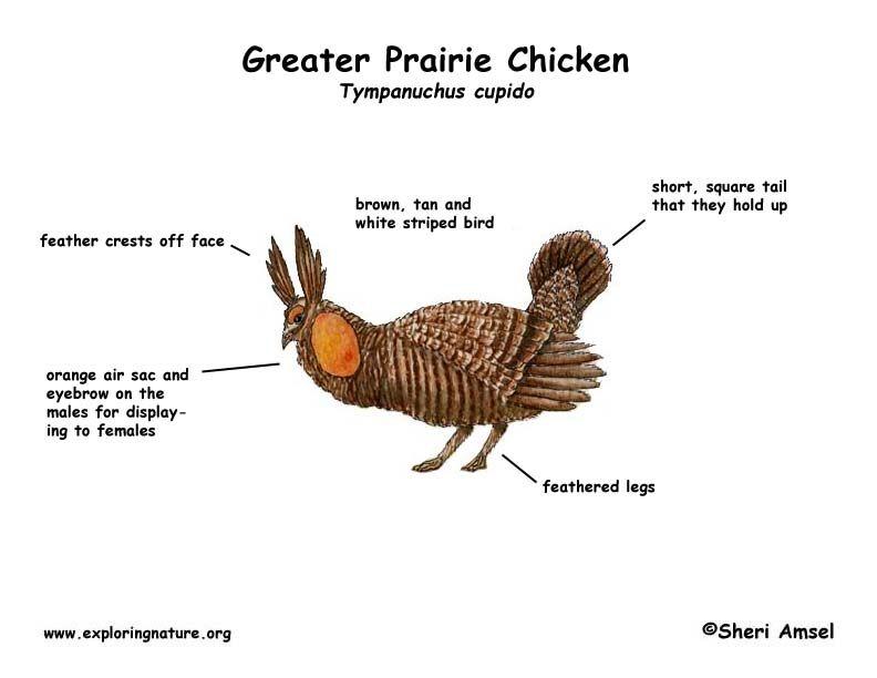 Diagrams Of Chickens Chicken Parts Diagram Lindsay Lohan Bikini