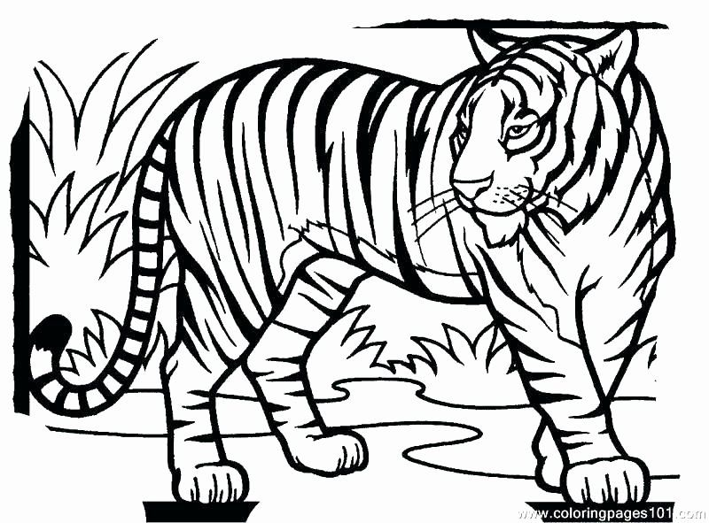 Saber Tooth Tiger Coloring Page Lovely Saber Tooth Tiger Coloring Page At Getcolorings In 2020 Tiger Drawing For Kids Animal Coloring Pages Tiger Drawing