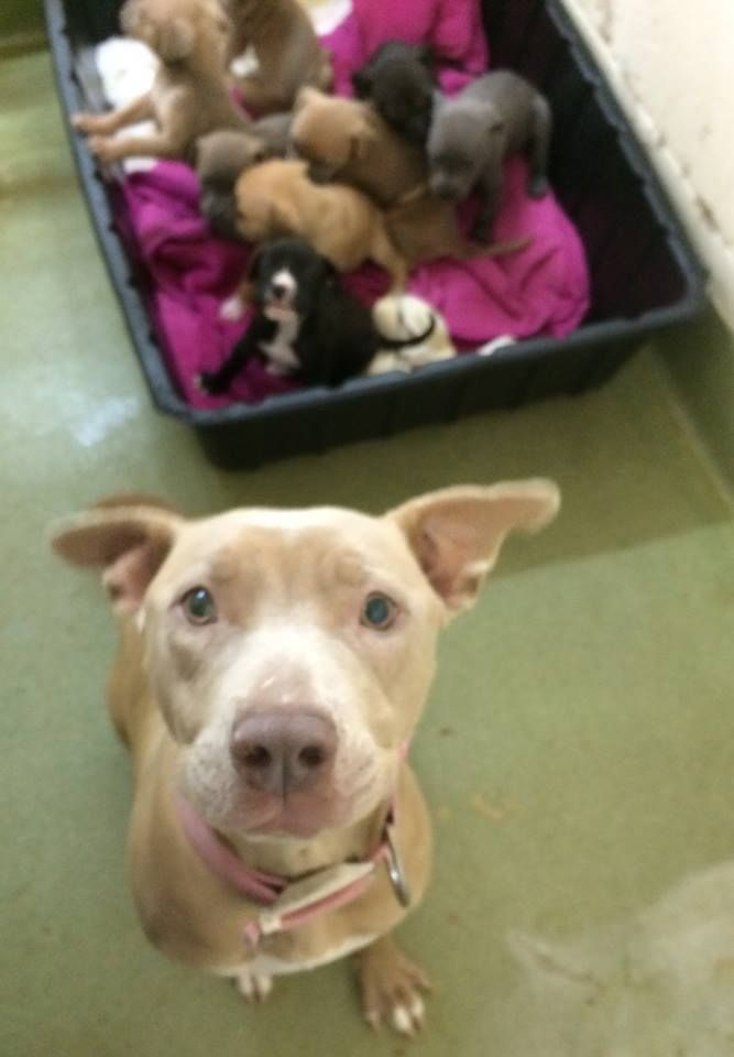 Luke Papillon Puppy For Sale In Ohio