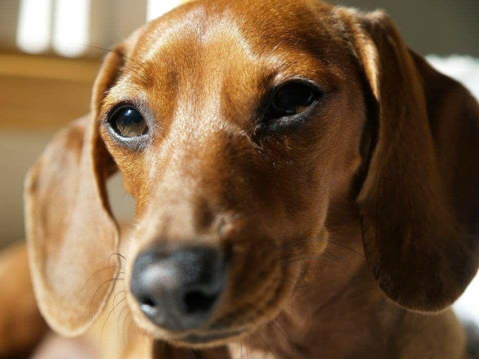 Daisy Mae Baby Dachshund Miniature Dachshunds Weenie Dogs