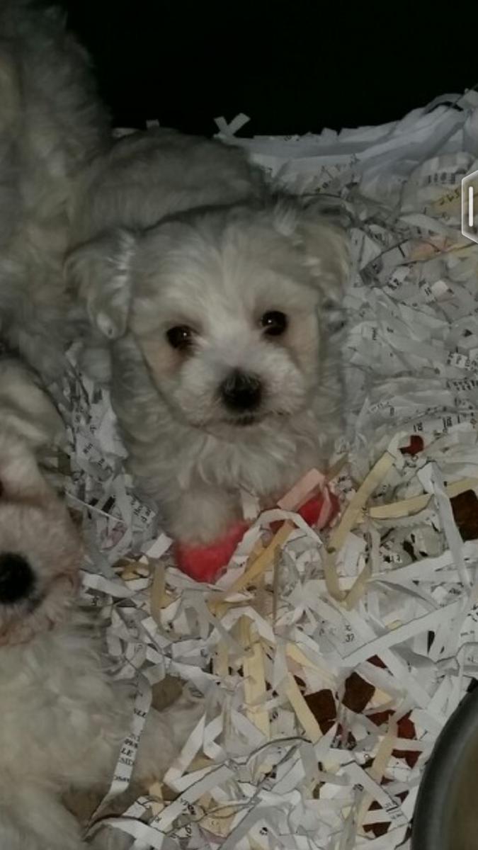 Maltese Puppies Sale St Louis Maltese Puppies For Sale Maltese