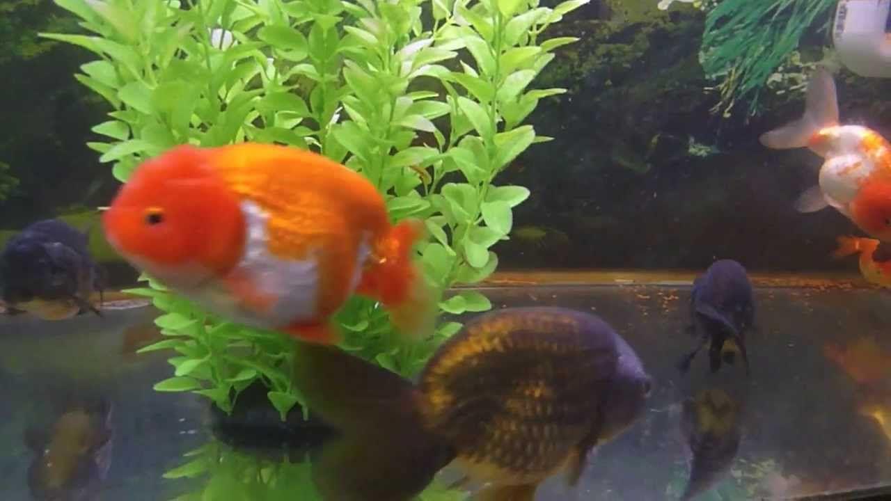 Lionhead Goldfish Attack Of The Cuteness Ranchu Lionhead