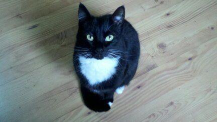 Sophie, my tuxedo kitty
