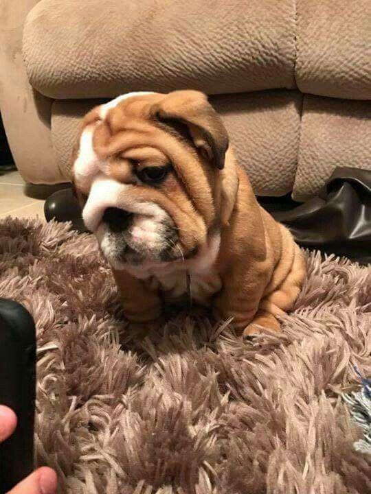 Bulldog Puppies By English Bulldog Puppies On English Bulldogs