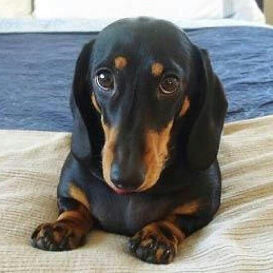 Black Tan Dachshund, Dog love, Weenie dogs
