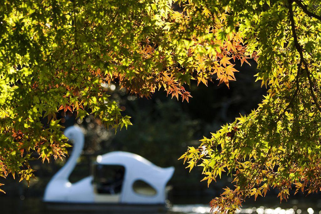 https://flic.kr/p/aW113c | momiji frame | まだ完全に紅葉する前の写真です。この木が紅葉したときも同じように狙ったのですが、日光やスワンの位置がうまく合わなかったです。