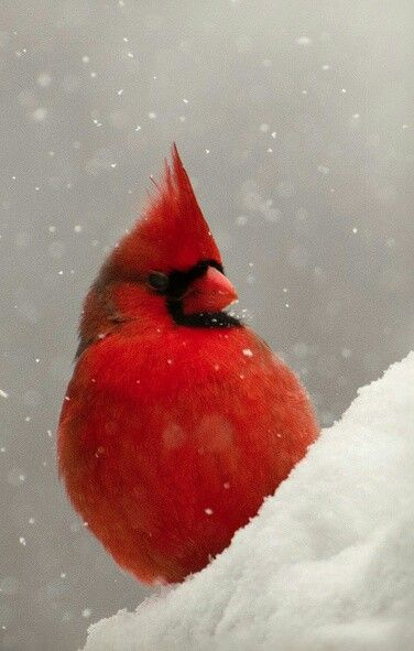 Cardinal in snowfall...such a beautiful sight each winter.....just wish we had winters like this to see the contrast!