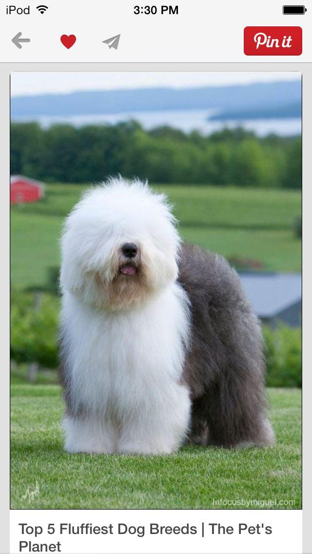 Fluffy Dog Breeds