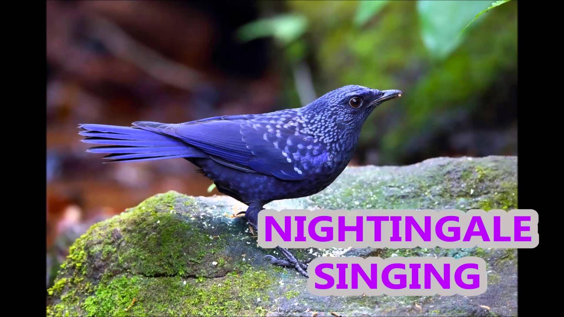 1 Hr - Прекрасное Пение Соловья / Nightingale Singing & Forest Birds