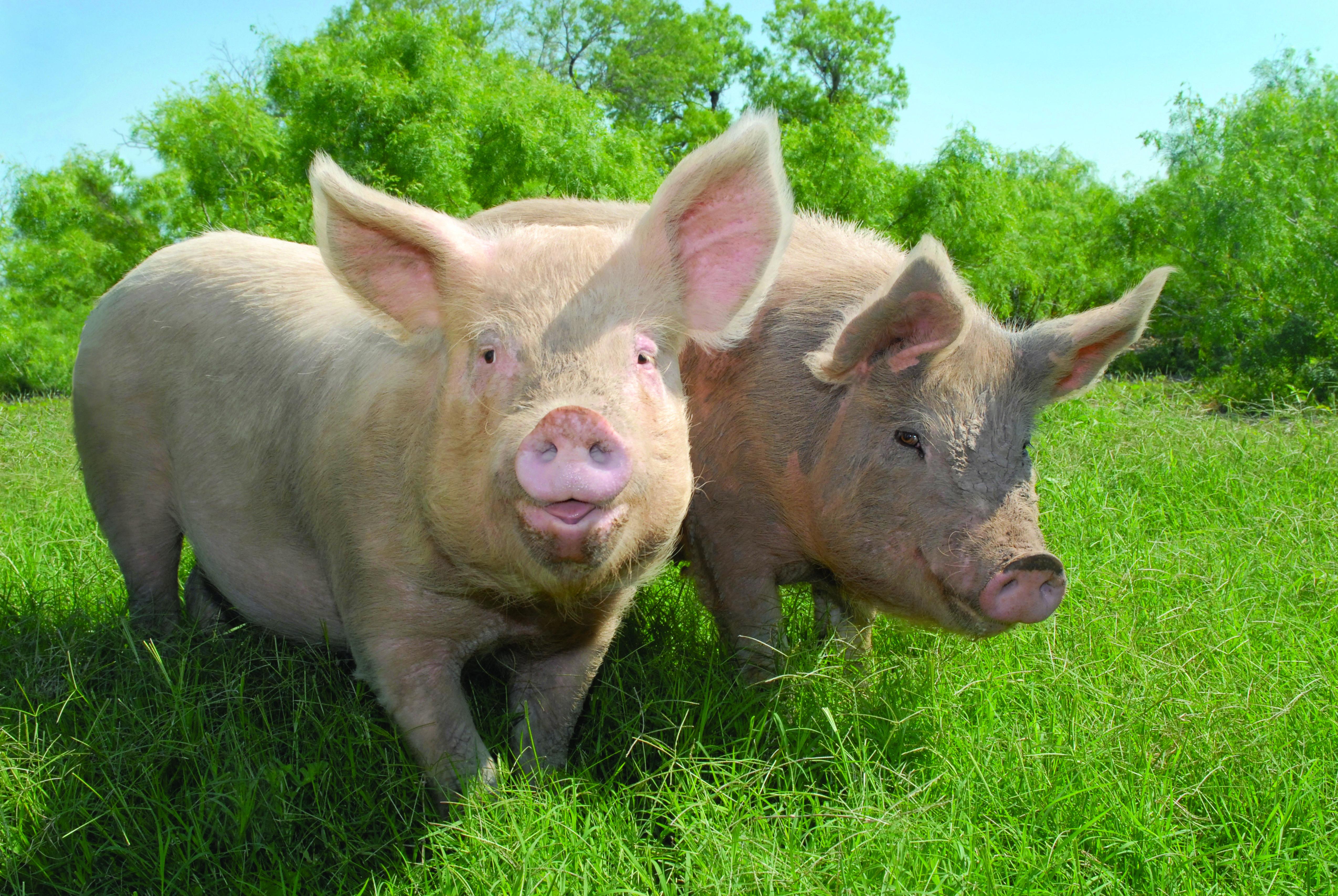 дом свинья травяная фото компоненты, приготовленные для