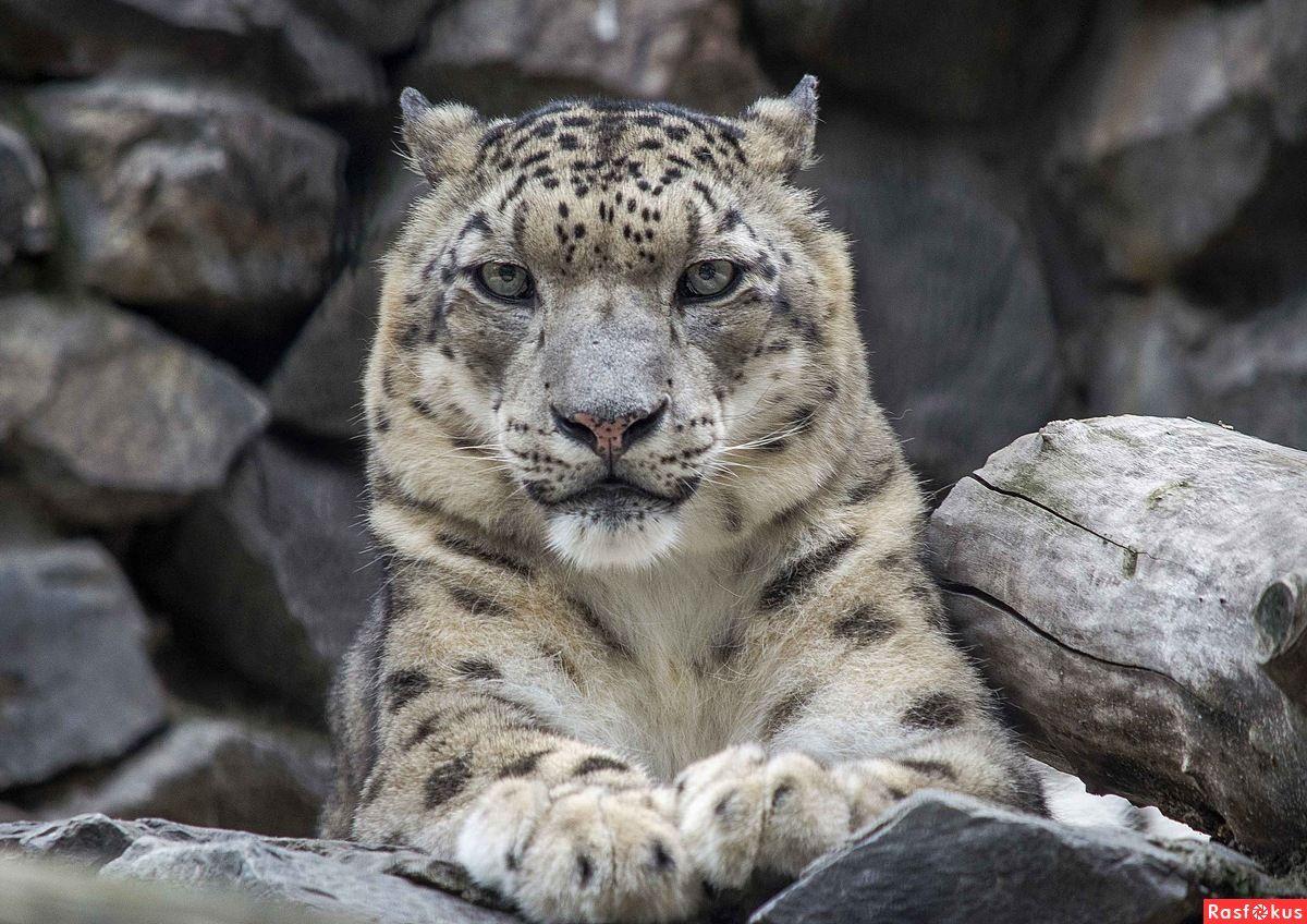фото снежных барсов ягуаров самом деле