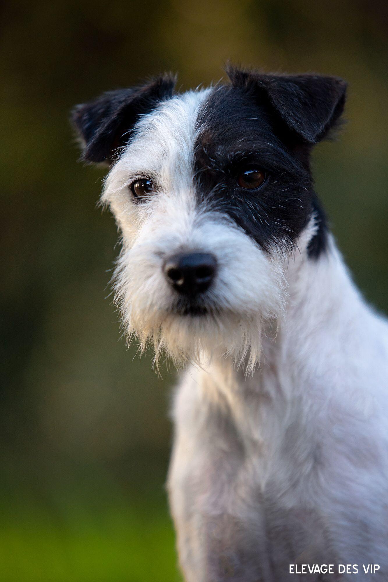 Linette Des Very Important Parson Jack Russell Terrier Chien Jack Russel Parson Russell Terrier
