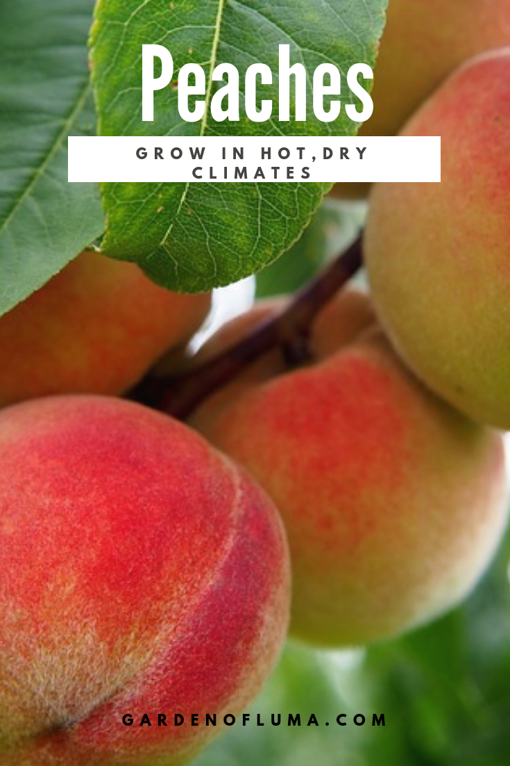 Grow A Peach Tree Peach Trees Growing Peach Trees Fruit Trees