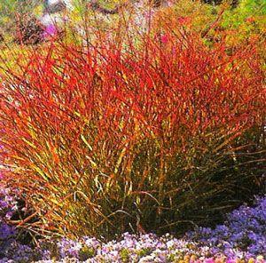 Panicum Virgatum Shenandoah Red Switchgrass Con Immagini Travi