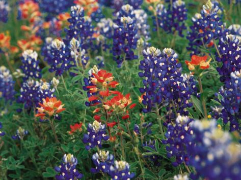 Paintbrush and Bluebonnets, Texas, USA  by Dee Ann Pederson