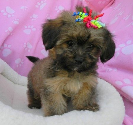 Small Non Shedding Dog Breeds Pictures Dog Pet Photos Gallery R4kep87en2 Non Shedding Dog Breeds Non Shedding Dogs Dog Breeds Pictures