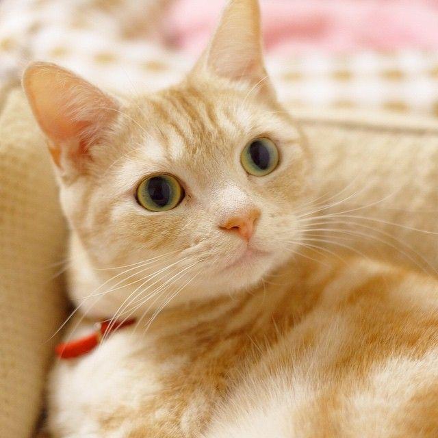 ねこベッドに入っている確率90パーセント Nekomelon アメショー めろん みかん 子猫 クールな猫 キュートな猫