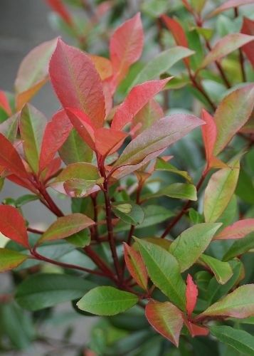 Die Triebe der Glanzmispeln leuchten im Frühjahr rot https - gartenpflanzen