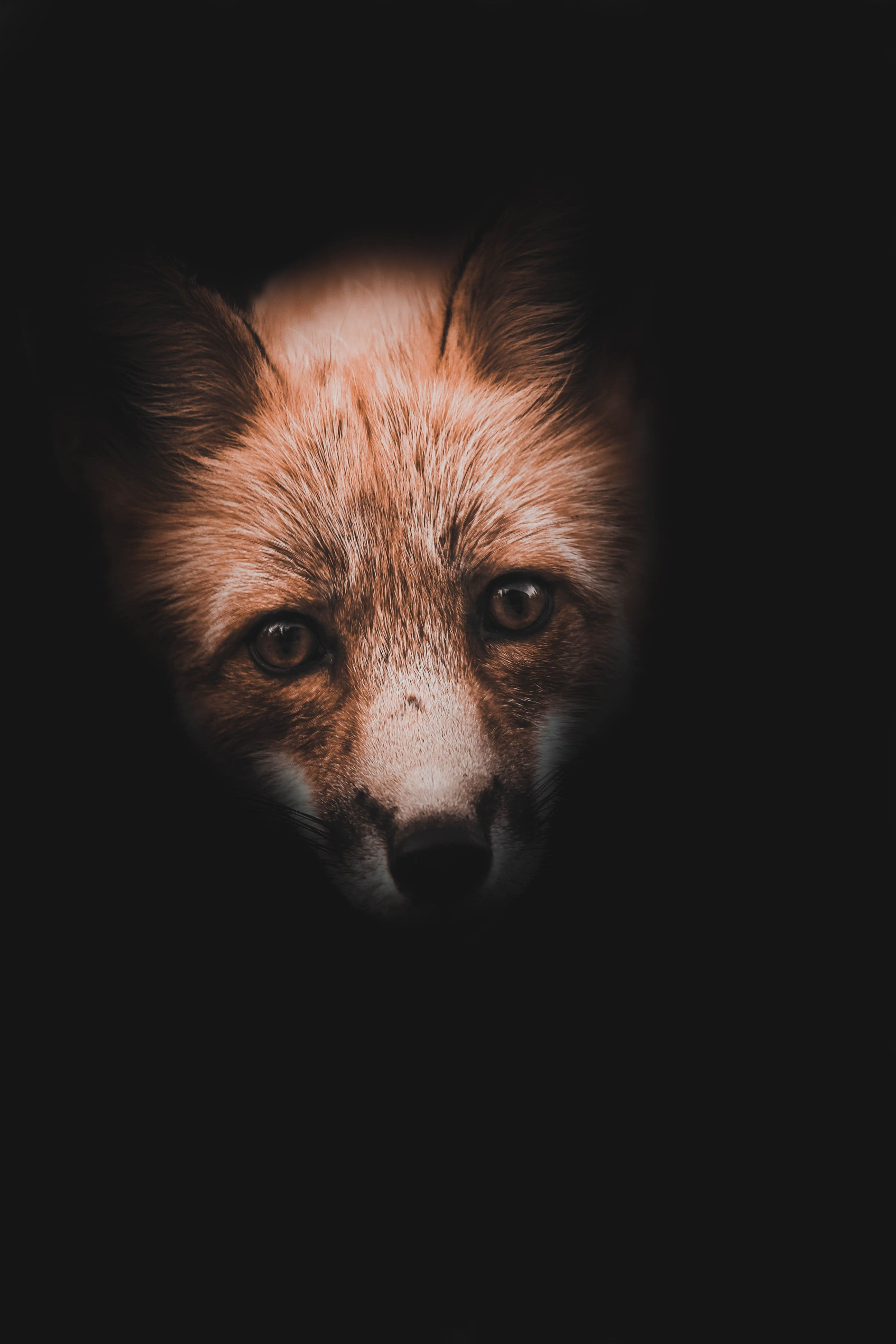 Close Up Photography Of Red Fox Animal Wallpaper Mobile