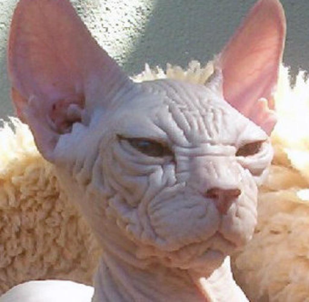 kohona katze - völlig haarlos | Cats / Katzen | Pinterest | Katzen