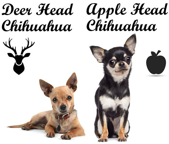 chihuahua head shapes deer head vs apple head chihuahua what s the difference 7764