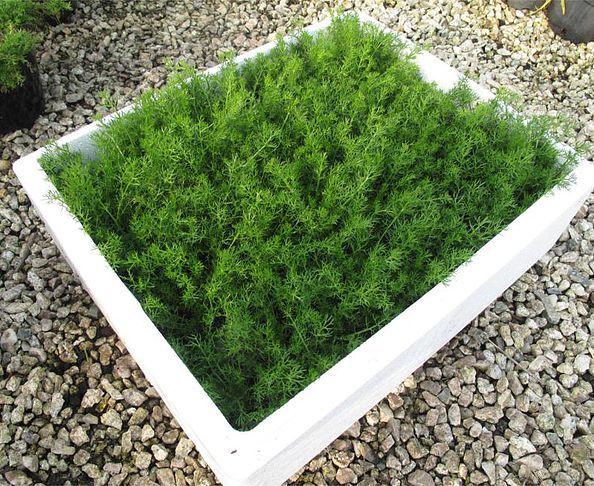 Uk Er Camomile Lawn Plants Chamomile For Lawns
