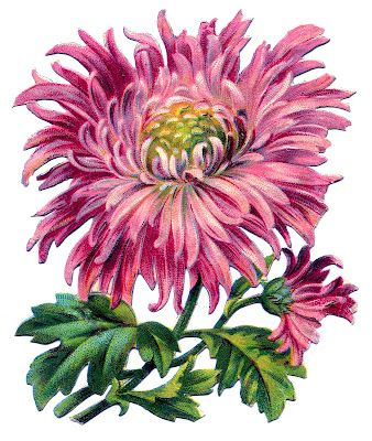 Vintage Image - Pink Chrysanthemum - The Graphics Fairy
