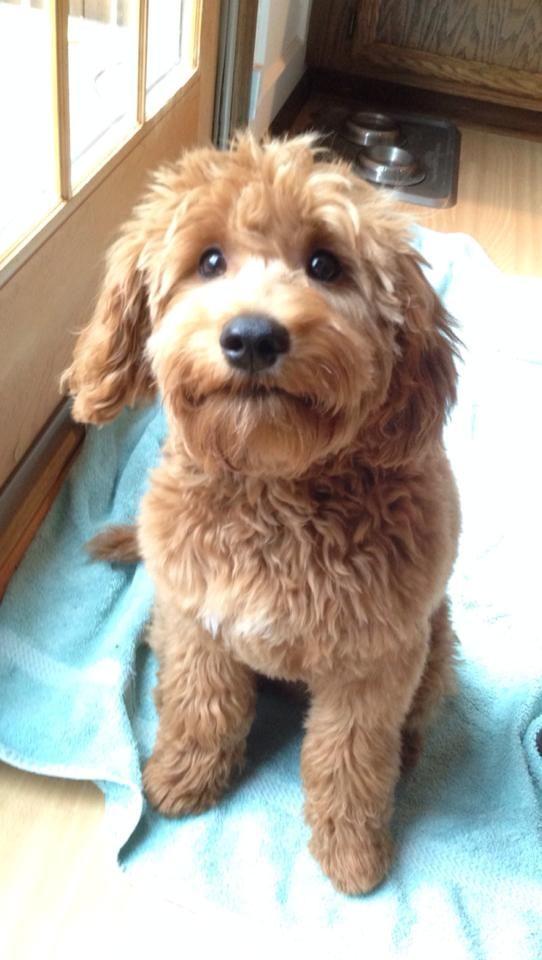 Nike Almost 6 Months Old Red Goldendoodle Puppy From River