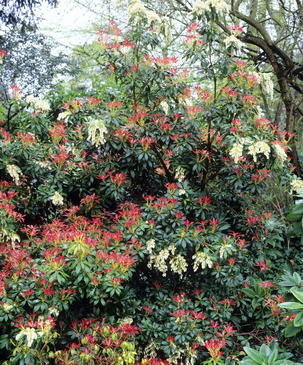 Im Lichten Schatten Fuhlen Sich Mountain Fire Und Andere Sorten Der Japanischen Lavendelheide Am Wohlsten Pflanzen Bluhende Pflanzen Garten Hecken