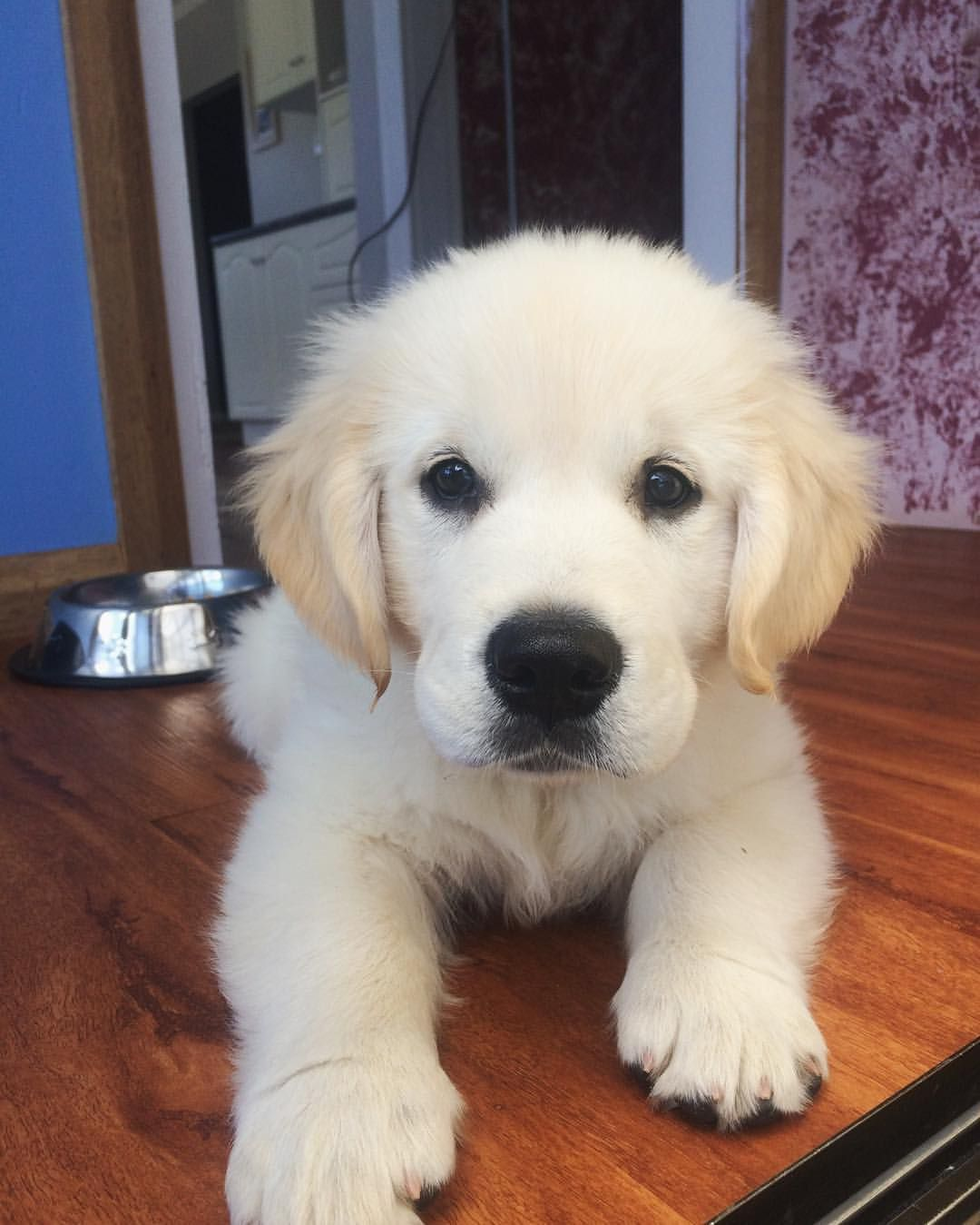 Golden Retriever Goldendoodle And Mini Goldendoodle Puppies For