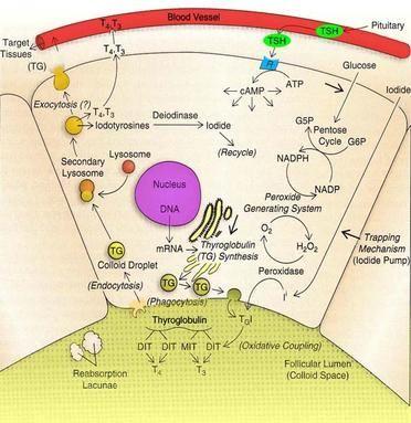 Thyroid Hormone Synthesis Pathway Low Thyroid Diet Thyroid Diet