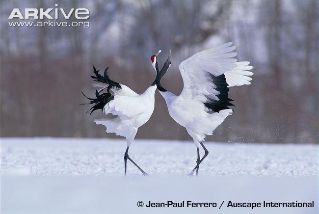 japanese crane watercolour - Google Search