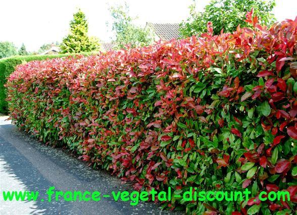 photinia fraseri red robin project c j 39 s backyard pinterest jardins jardinage et. Black Bedroom Furniture Sets. Home Design Ideas