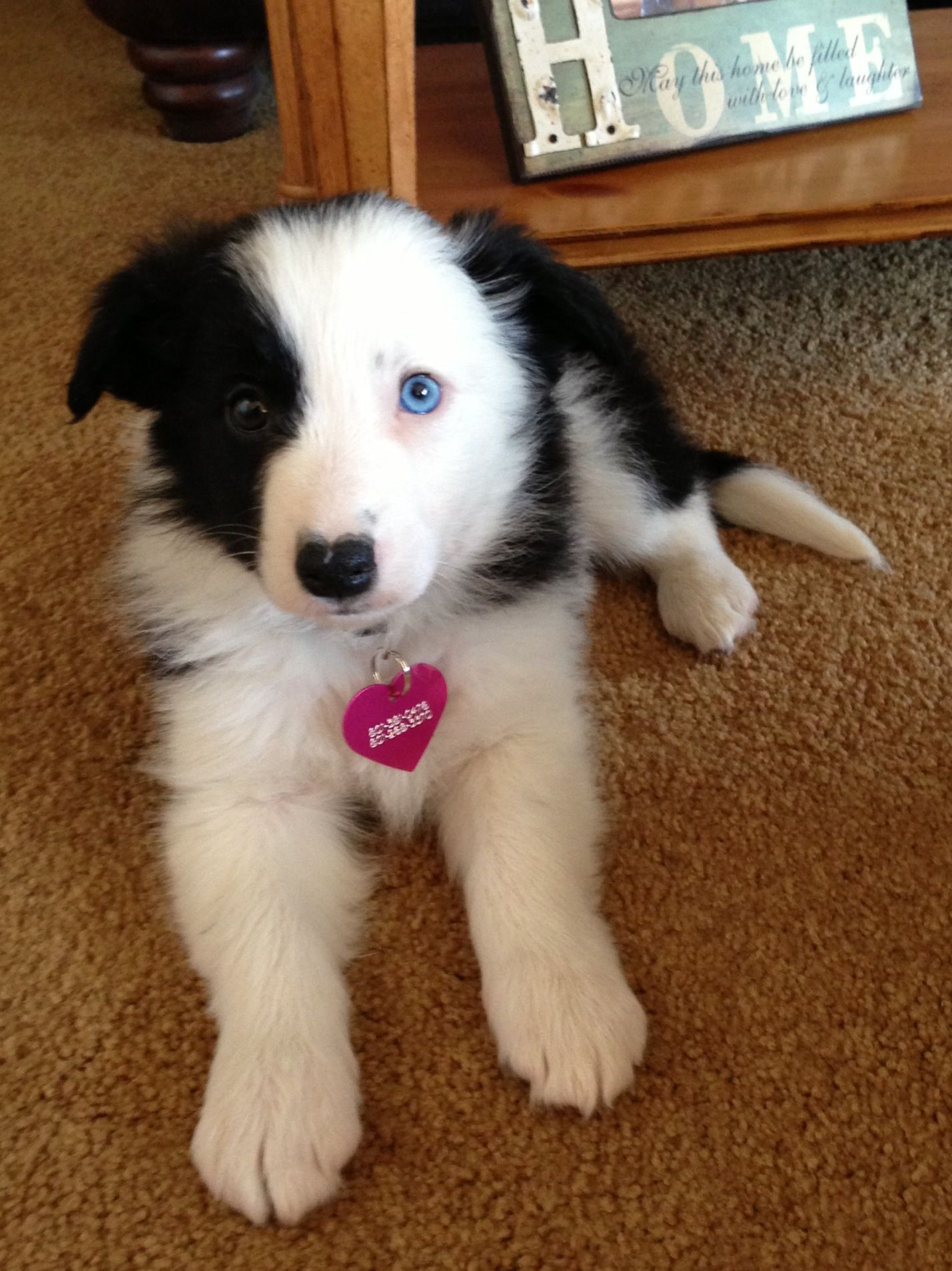 Blue Eyes Border Collie Puppy Brue Collie Puppies Cute Dogs Breeds Border Collie Blue Eyes