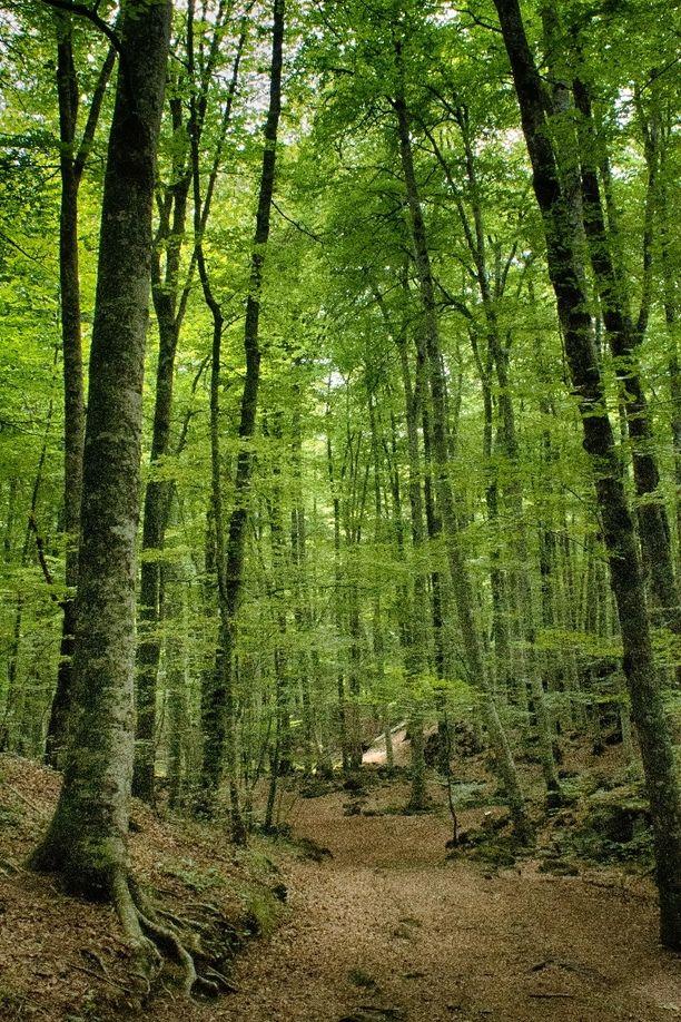 La Fageda d'en Jordà, un bonito bosque que se encuentra muy cerca de la fábrica Resol en La Garrotxa. | La Fageda d'en Jordà, a nice forest located near the Resol factory in La Garrotxa.