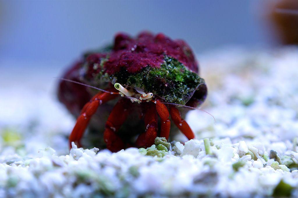 Hermit Crab Hermit Crab Reef Aquarium Crab Species