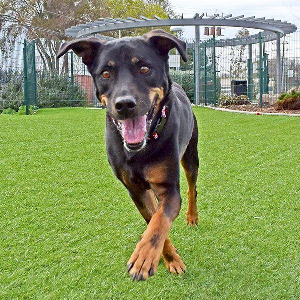Savannah 01 27 15 Dog Adoption Rottweiler Mix Pets