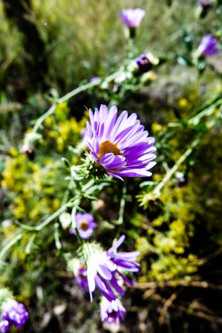 Purple Haze The Resinous Medicine Of Aster Rhizome Leaf And Flower With Images Medicinal Plants Medicine Woman Aster