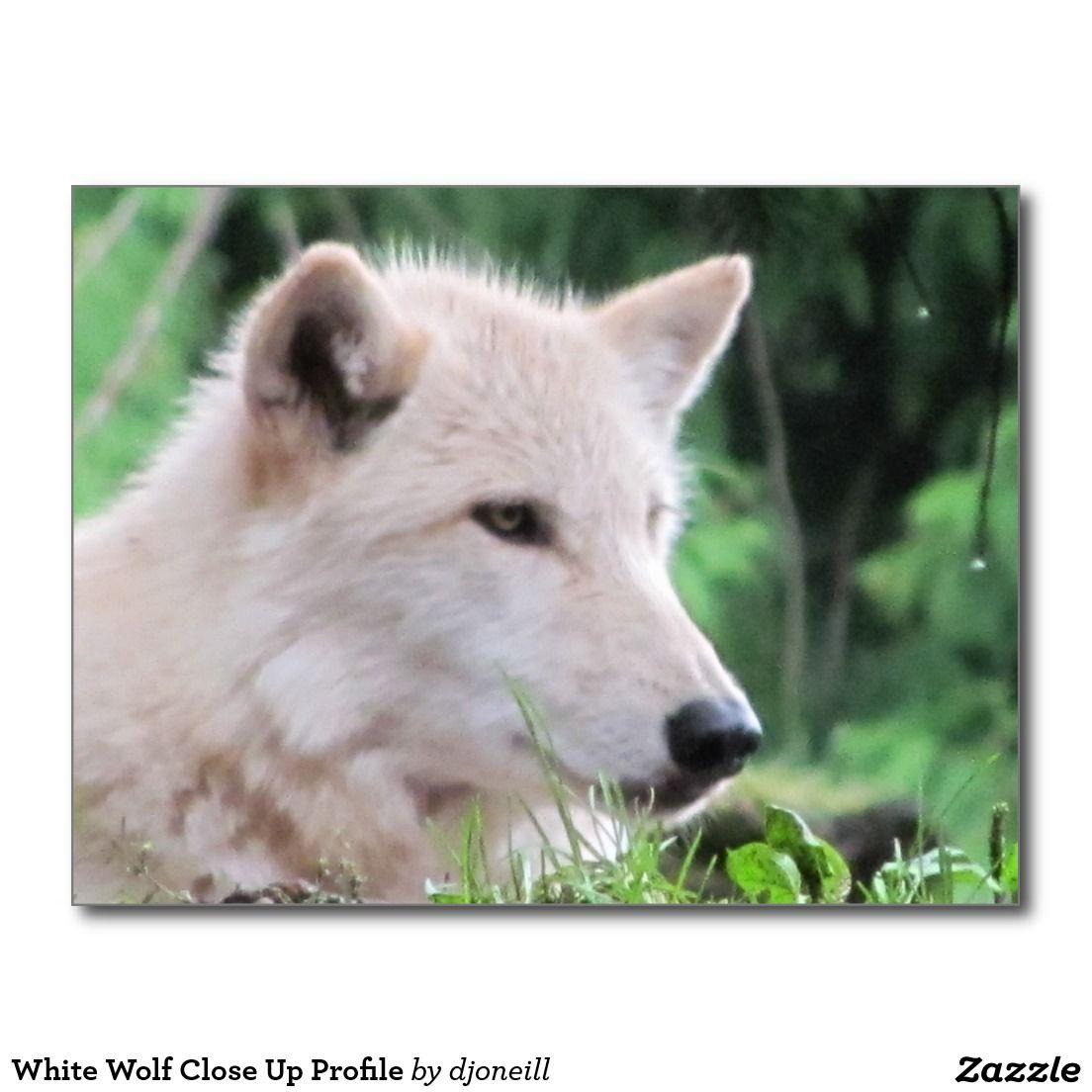 White Wolf Close Up Profile Postcard