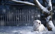 Both stunningly gorgeous and incredibly adorable at the same time. Love. #snow #winter #outdoors #white  #Christmas #cute #dogs #puppies #bulldog #English #pets #animals
