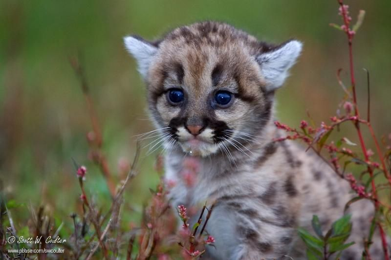 Baby Cougar photo - Scott Coulter photos at pbase.com | Animals ...