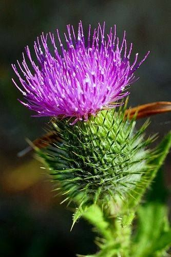 Flower Of Scotland Hear It Sung By 60000 People At Https M Youtube Com Watch V Pn5dqlkjlhk Thistle Flower Scotland Scottish Heritage